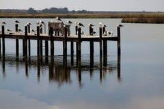 Jetty in Velddrif. Sea birds resting on a jetty in Velddrif Stock Photos