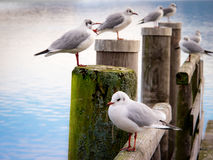Jetty with sea gull (98) Stock Image