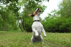 Jeu adorable de chien de Jack Russell Terrier photographie stock