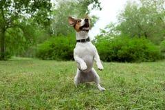 Jeu adorable de chien de Jack Russell Terrier images stock