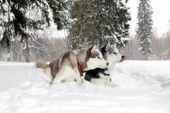 Jeu adulte de deux chiens dans la neige enroué Âge 3 ans Images libres de droits