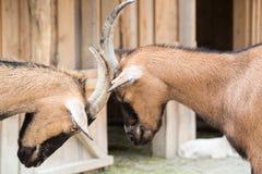 Jeu-combat de deux jeune chèvres avec leurs têtes à une ferme d'animaux Photo stock