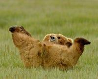 Jeu d'Alaska d'ours gris Images stock