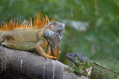 Jeu de accouplement d'iguane vert Image stock