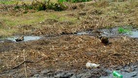 Jeu de canards dans l'eau sale Image libre de droits