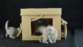 Jeu de chatons avec une boîte en carton banque de vidéos