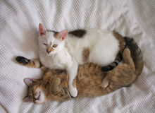 Jeu de chats Image libre de droits