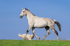 Jeu de cheval blanc et de chien images libres de droits