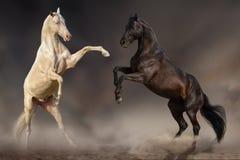 Jeu de chevaux dans le désert Photos libres de droits
