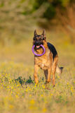 Jeu de chien de berger photo stock