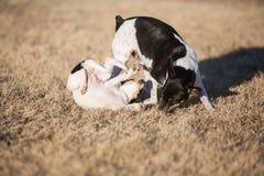 Jeu de chien et de chiot photo libre de droits