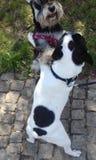 Jeu de chiens Photographie stock libre de droits