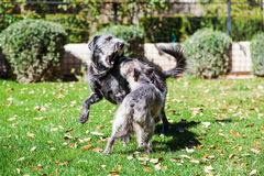Jeu de chiens combattant dans la cour Photographie stock