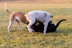 Jeu de chiens de la Thaïlande trois Photographie stock libre de droits