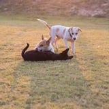Jeu de chiens de la Thaïlande trois Photographie stock