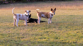 Jeu de chiens de la Thaïlande trois Images stock