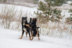 Jeu de chiens en hiver Photos libres de droits