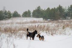 Jeu de chiens en hiver Photographie stock libre de droits