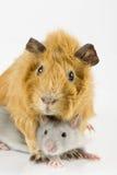 Jeu de cobaye et de rat Photographie stock libre de droits