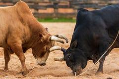 Jeu de combat du taureau images libres de droits