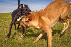 Jeu de deux chiens combattant dans le domaine herbeux Images stock