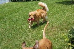Jeu de deux chiens dans l'arrière cour Photos stock