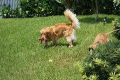 Jeu de deux chiens dans l'arrière cour Image stock