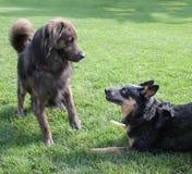 Jeu de deux chiens dans l'herbe Photographie stock