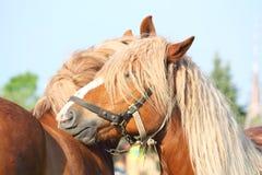 Jeu de deux de palomino chevaux de trait Photographie stock libre de droits