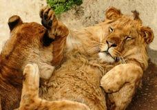 Jeu de deux jeune lions Photographie stock