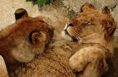 Jeu de deux jeune lions Photographie stock libre de droits
