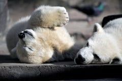 Jeu de deux petit animaux d'ours blanc photo stock