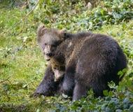 Jeu de deux petits animaux d'ours brun combattant en nature Image stock