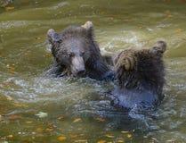 Jeu de deux petits animaux d'ours brun combattant en nature Photos libres de droits