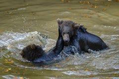 Jeu de deux petits animaux d'ours brun combattant en nature Photo stock