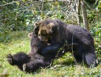 Jeu de deux petits animaux d'ours brun combattant en nature Photo libre de droits