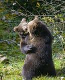 Jeu de deux petits animaux d'ours brun combattant en nature Photographie stock libre de droits