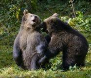 Jeu de deux petits animaux d'ours brun combattant en nature Photos stock
