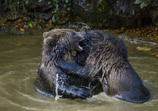 Jeu de deux petits animaux d'ours brun combattant en nature Images libres de droits
