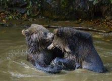 Jeu de deux petits animaux d'ours brun combattant en nature Image libre de droits