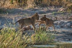Jeu de deux petits animaux de lion combattant dans l'herbe Images libres de droits