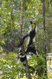 Jeu de lémurs Photo stock