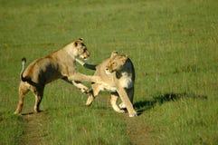 Jeu de lions Photographie stock