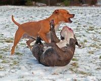 Jeu de pitbull combattant avec le bouledogue anglais d'antan Photographie stock libre de droits
