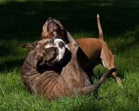 Jeu de pitbull combattant avec le bouledogue anglais d'antan Image stock