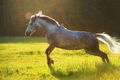Jeu de trotteur d'Orlov de cheval blanc dans la lumière de coucher du soleil Image libre de droits