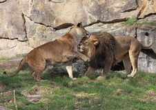 Jeu des couples de lion Photo libre de droits