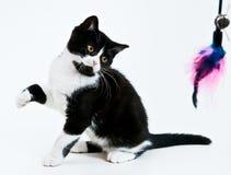 Jeu du chaton. Image libre de droits