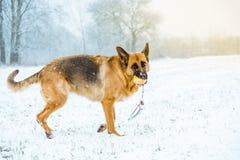 Jeu heureux de chien avec la boule dans la neige pendant la promenade Photographie stock libre de droits