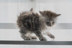 Jeu mignon de chaton Photographie stock libre de droits